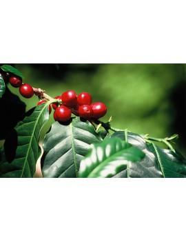 Café pure origine GUATEMALA HUEHUETENANGO 100% arabica la brûlerie le Puy en Velay