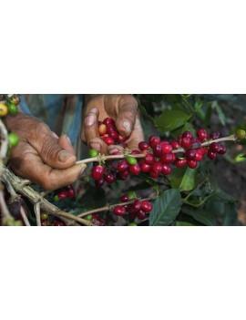 Café pure origine PEROU 100% arabica la brûlerie le Puy en Velay