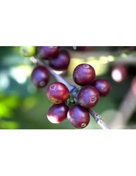 Café pure origine LE GOURMET 100% arabica la brûlerie le Puy en Velay