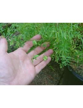 Lentilles vertes du Puy en boite métallique Sabarot 500 grs la brûlerie le Puy en Velay